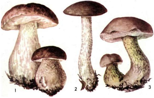 грибы ложный белый гриб фото и описание